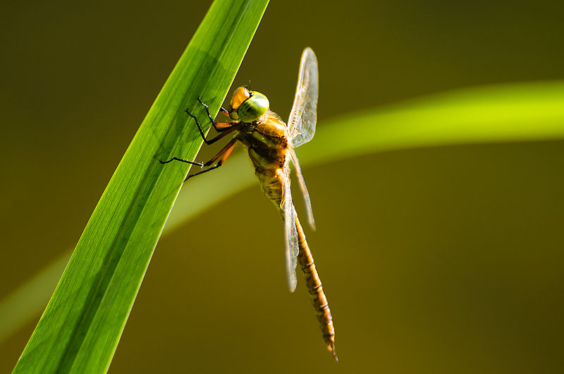 Green-eyed hawker dragonfly