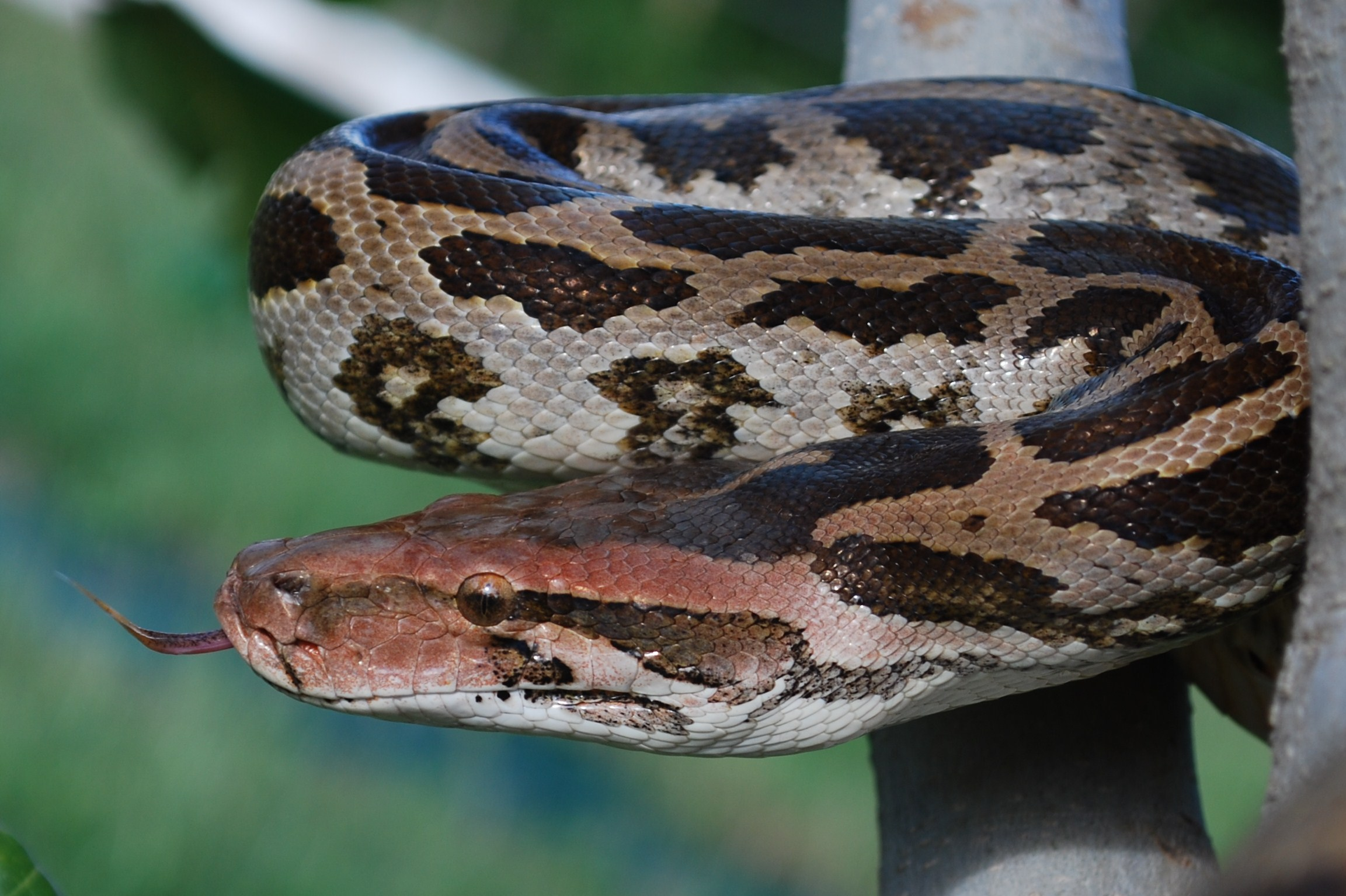 Indian_rock_python