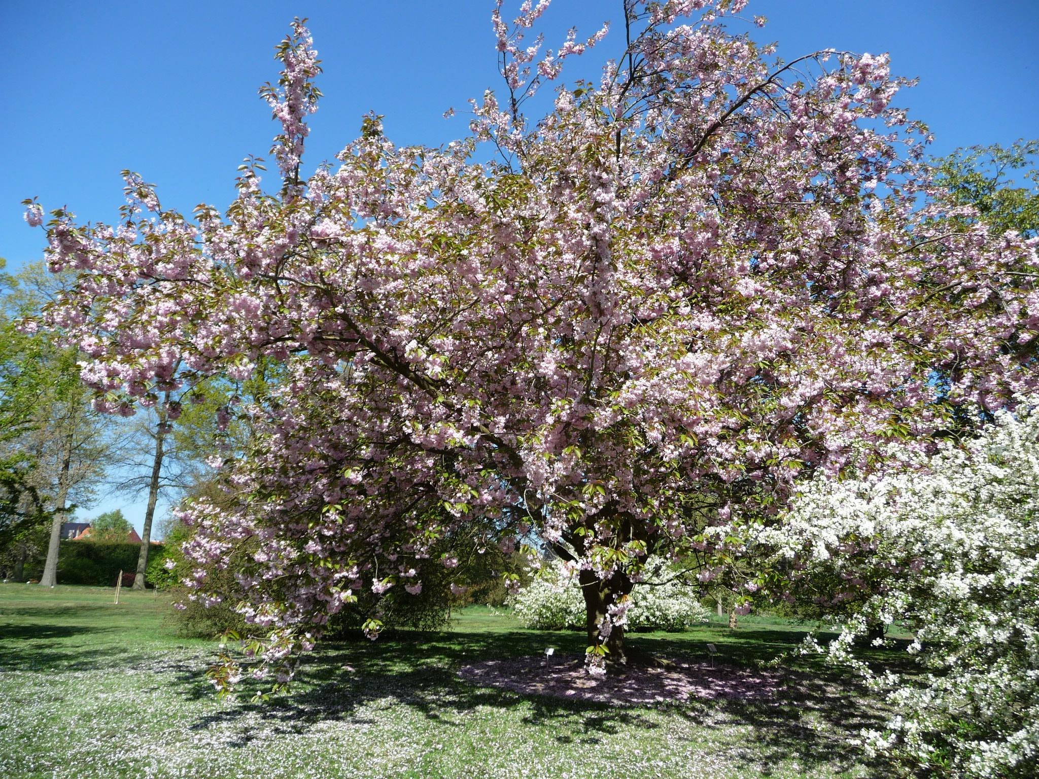 Spring flowering cherries