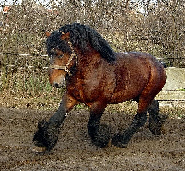The Belgian draft horse in full flow
