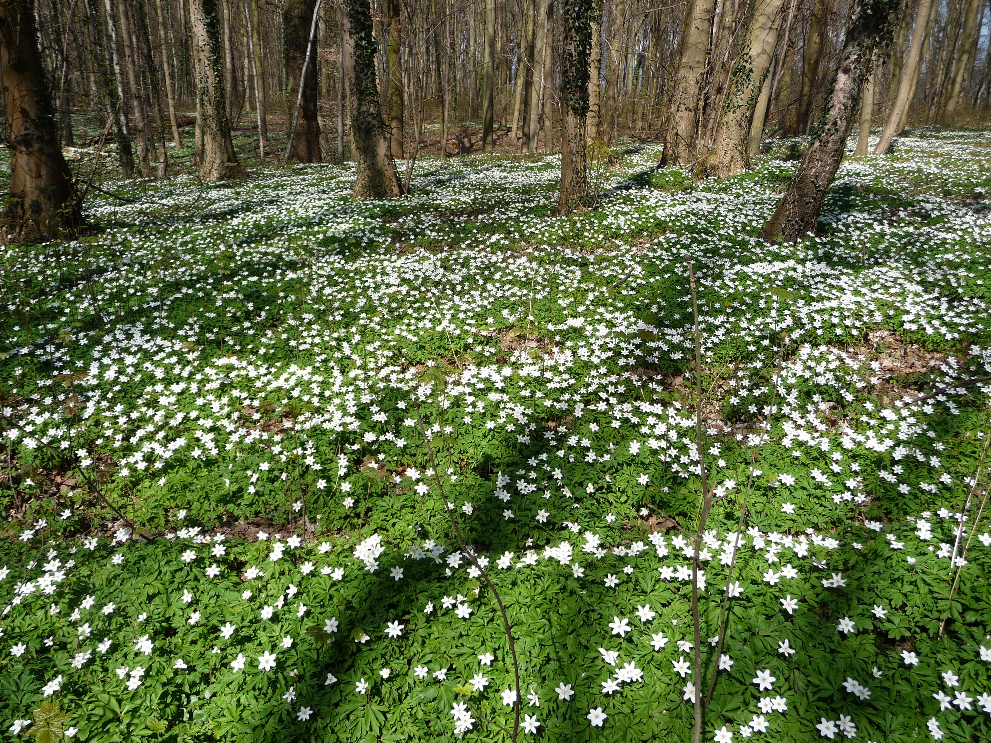 Wood anemones in the Bertembos