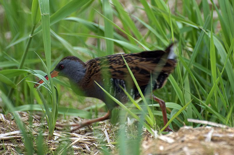 800px-Water_Rail_running