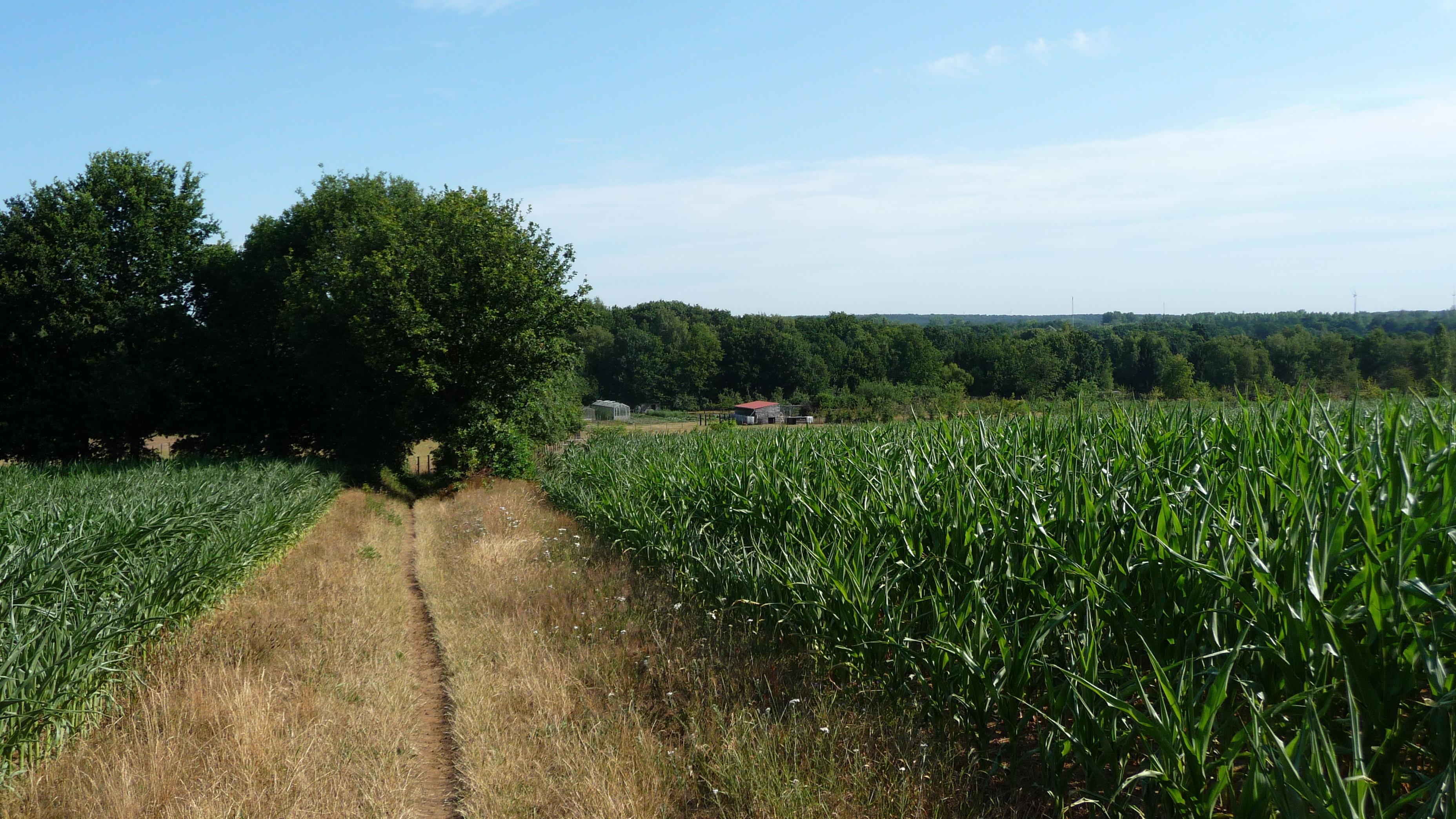 Maize fields near Diest