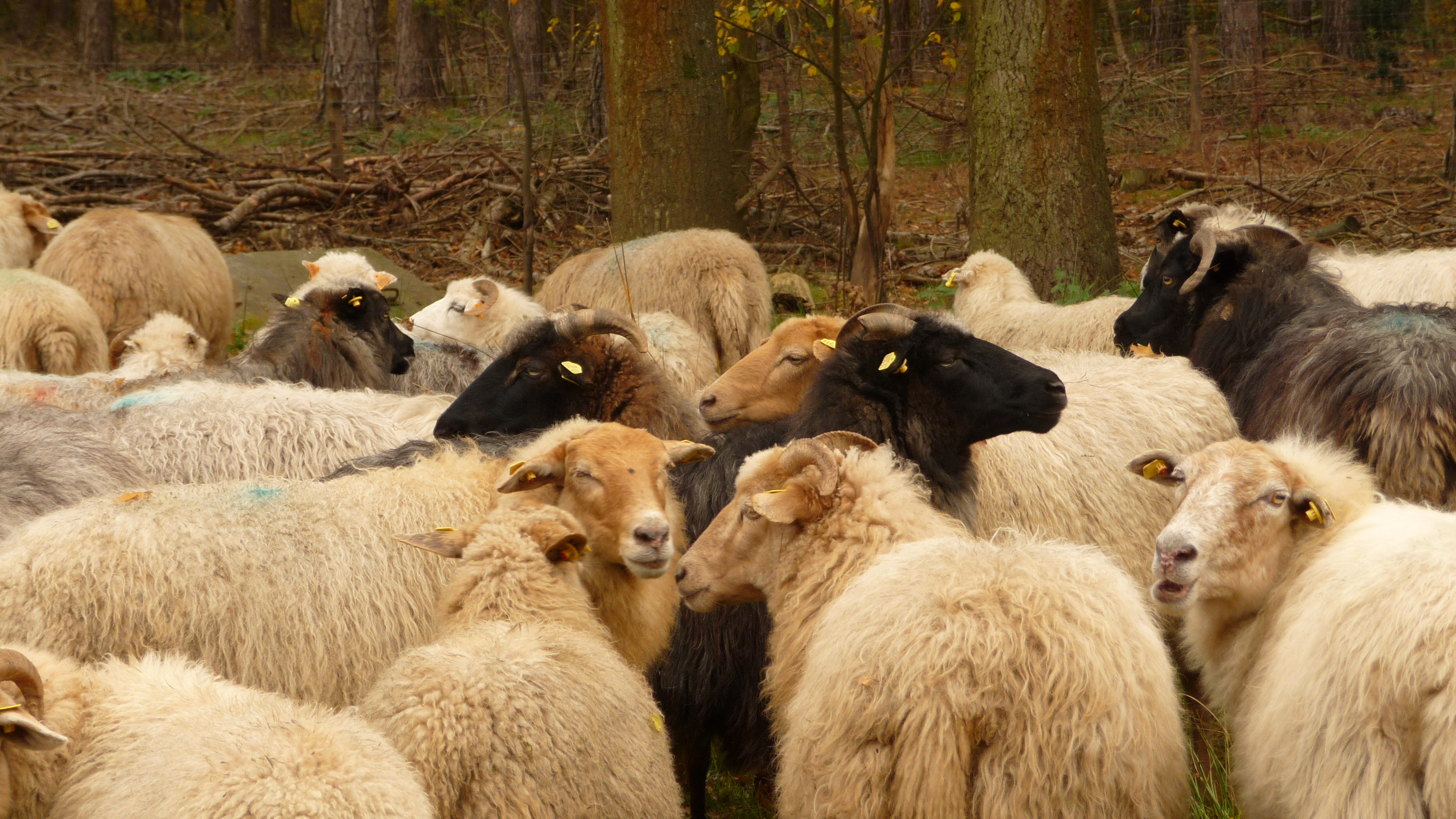 A flock of sheep on Averbode Heath