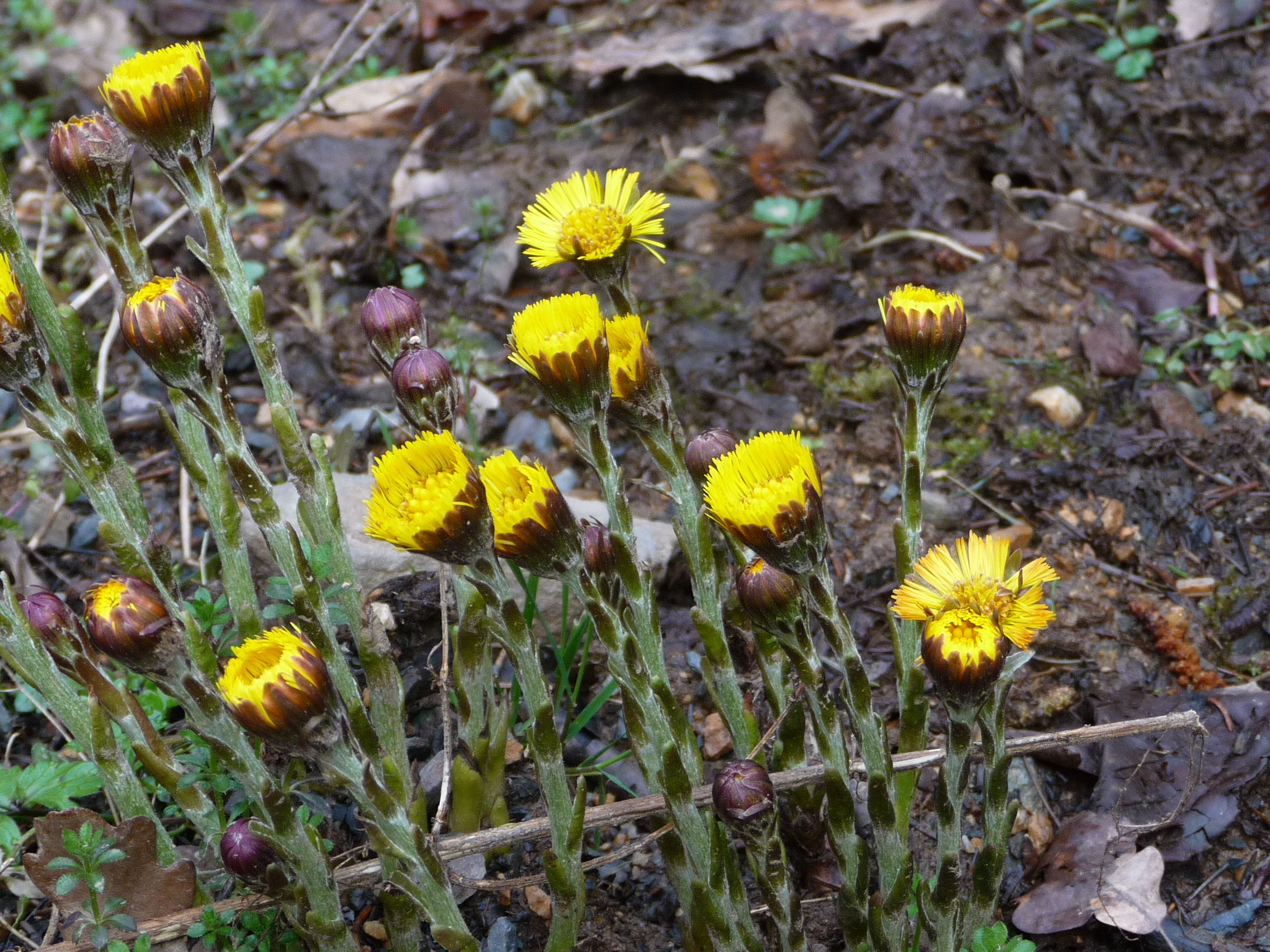 GR571 coltsfoot