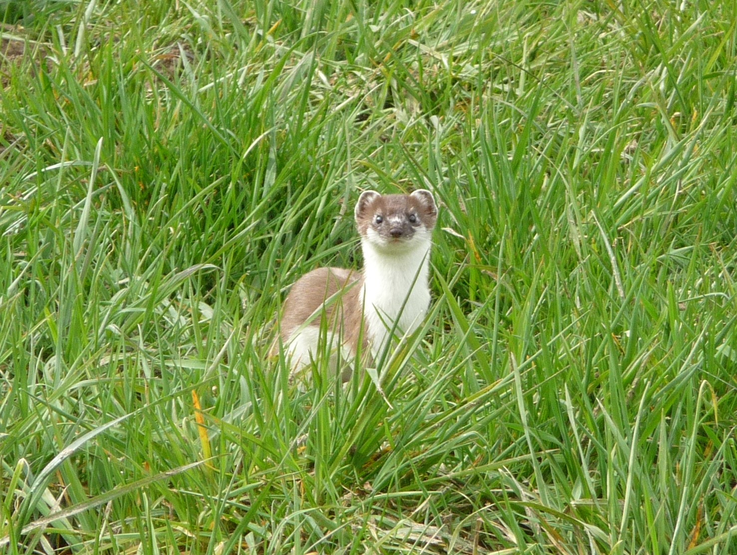 Spotting a stoat on the way to Vielsalm