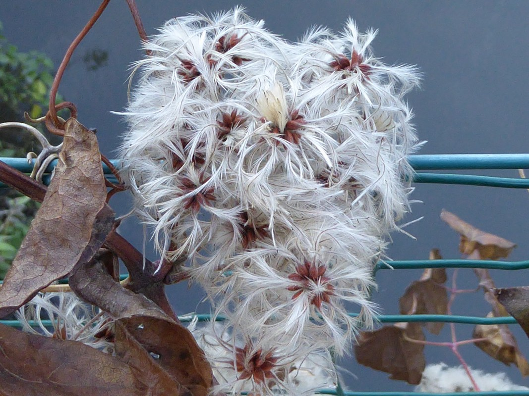 Seed heads of wild clematis