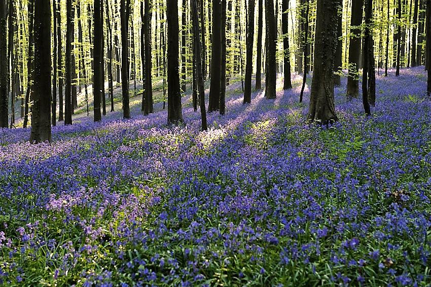 Hallerbos, Belgium is full of bluebells in the spring