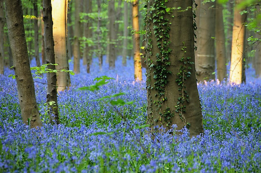 The bluebells of the Hallerbos, Belgium are a superb natural spectacle