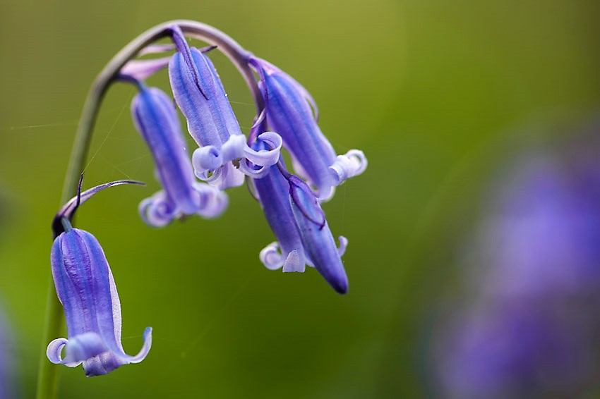 Hallerbos, Belgium is famous for its bluebells