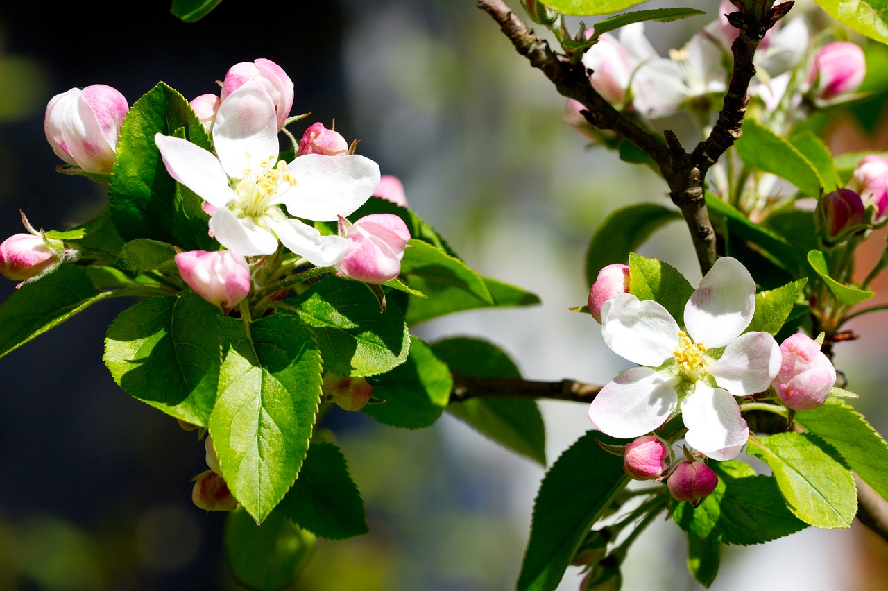 apple-blossom-1689690_1280