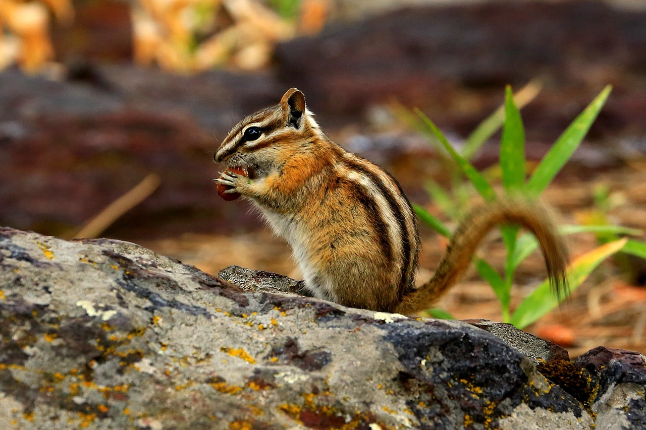 Siberian chipmunks in the Foret de Soignes