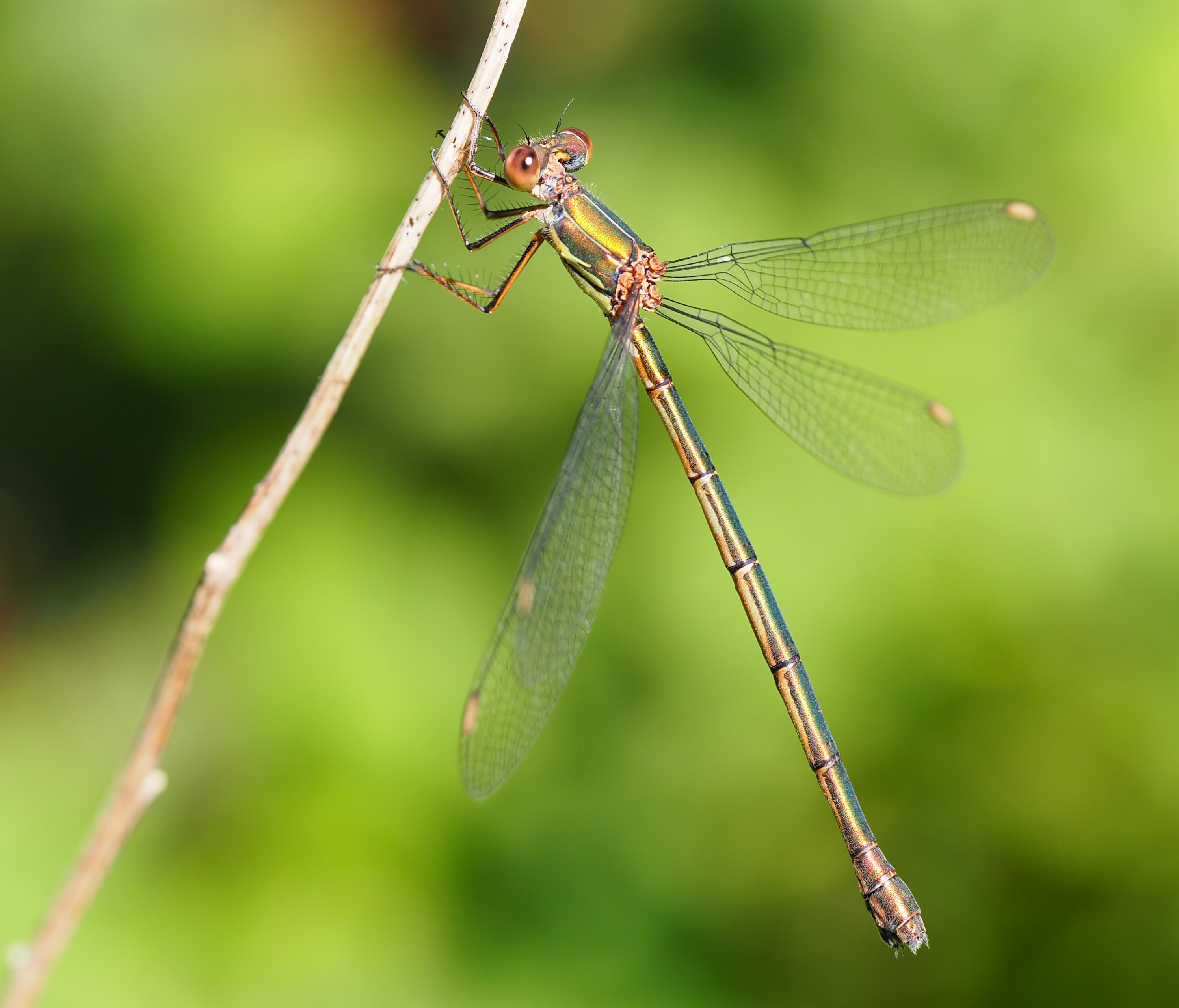 Damselfly in Neerijse