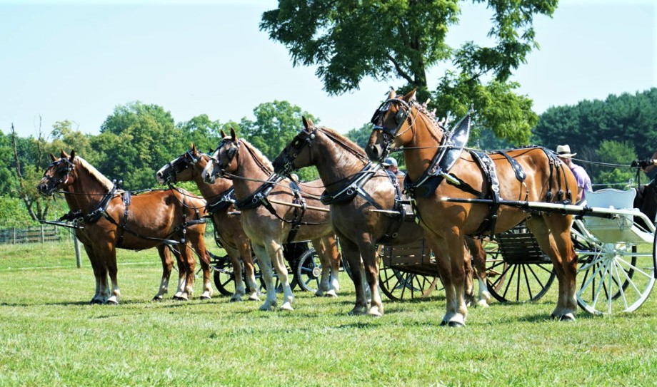 The USA loves their draft horses from Belgium!