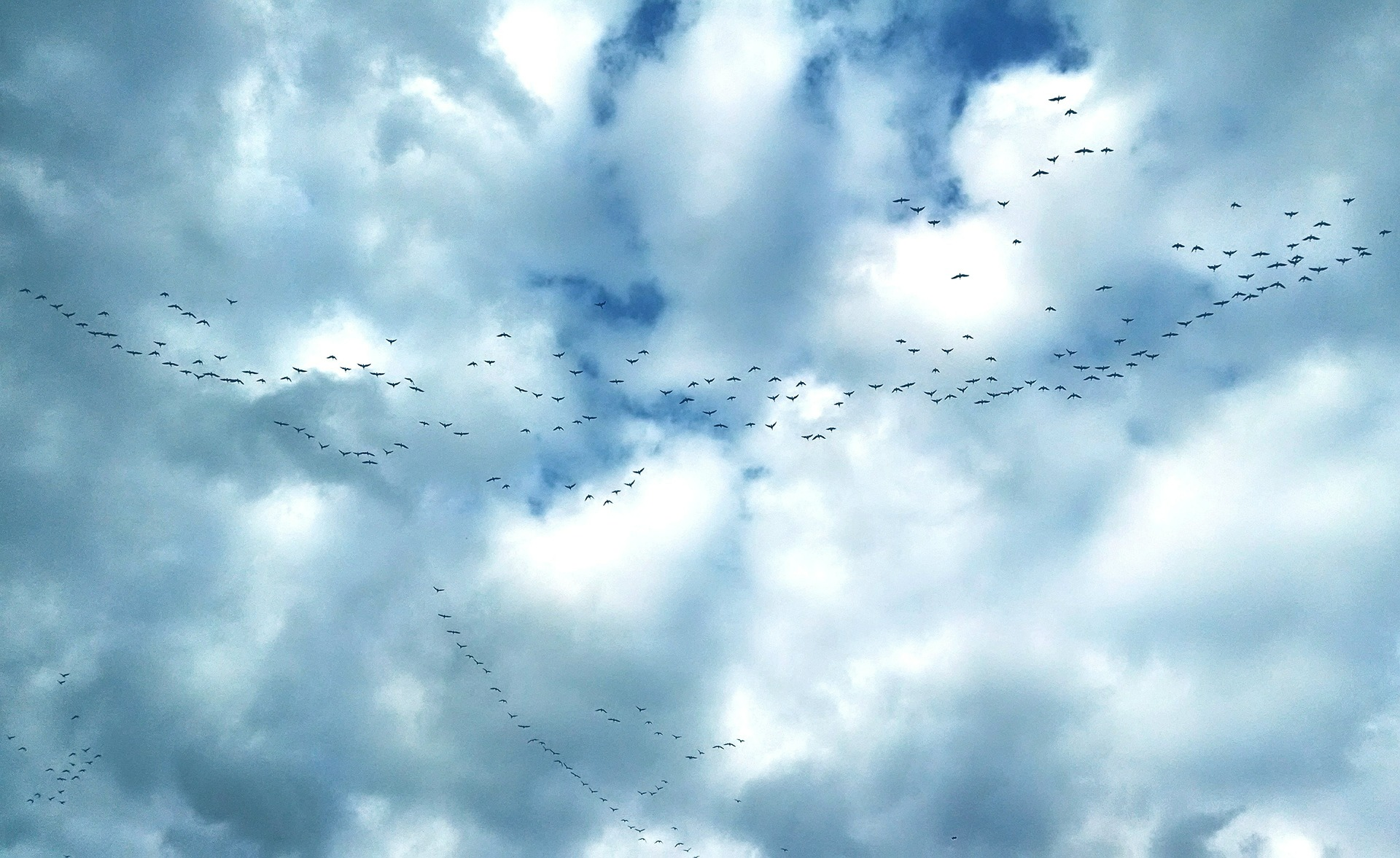 Migrating geese over Brussels