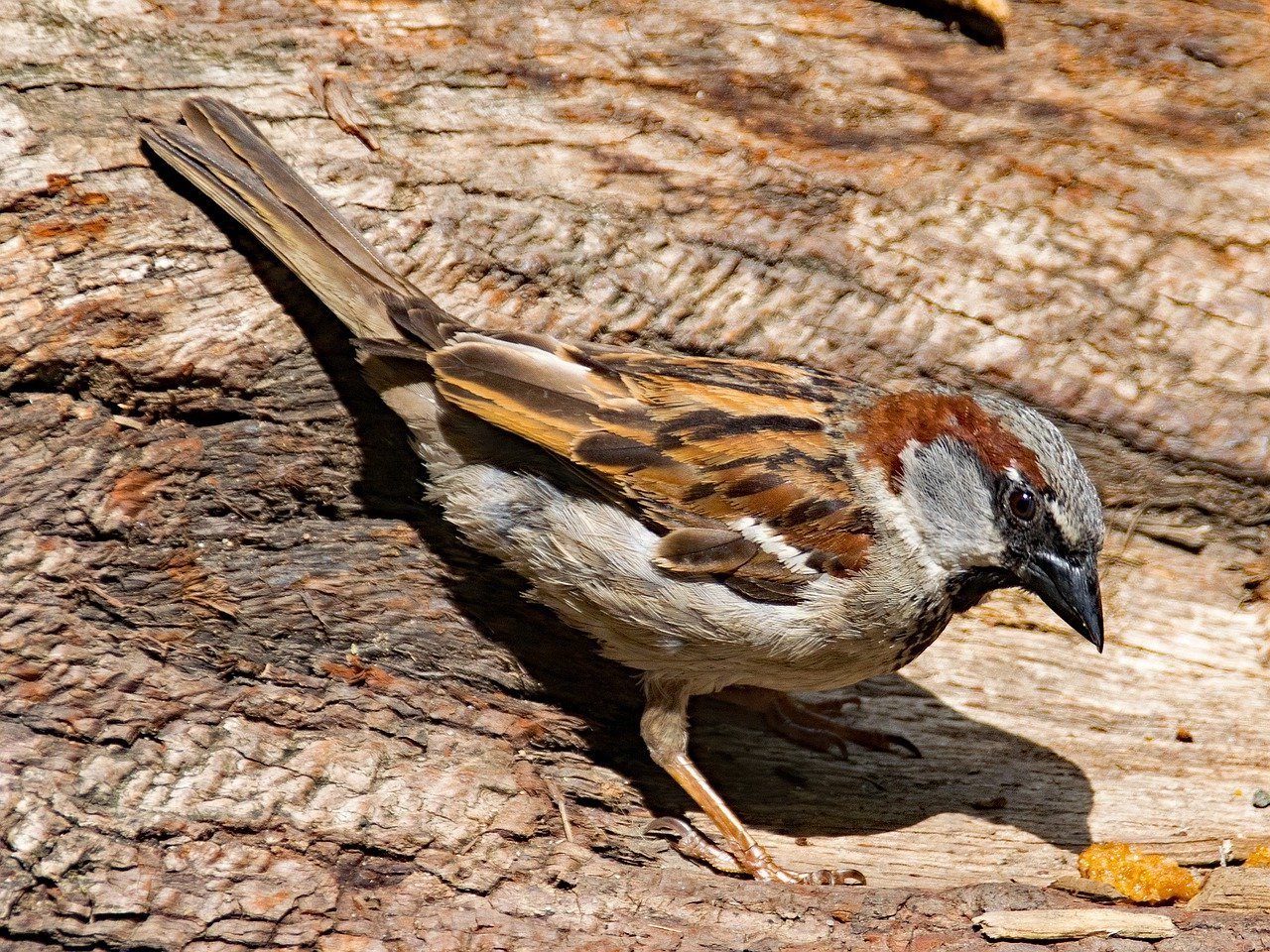 Male house sparrow in book bird guide