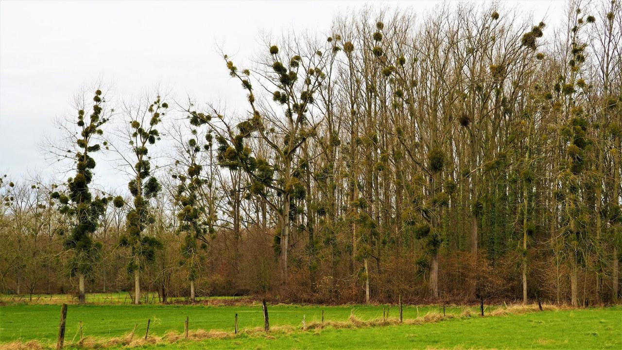 Mistletoe infected trees