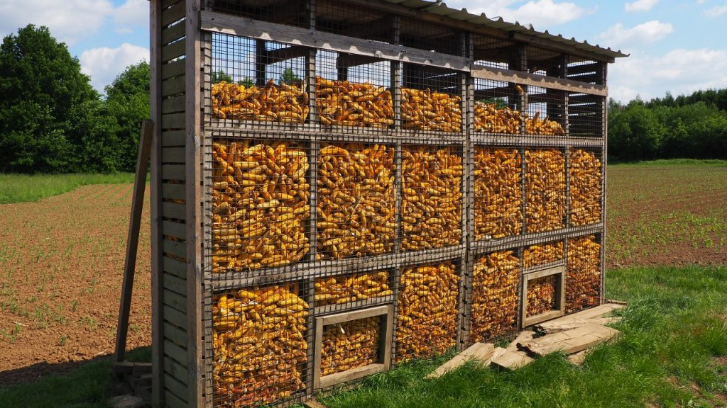 Drying maize cobs in the Demer Valley of Belgium