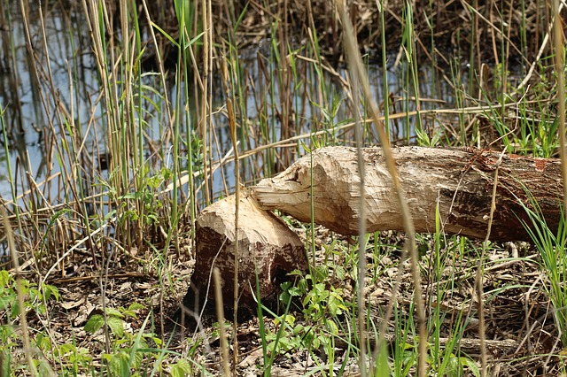 Beaver damage River Lesse spotted by travel writer Derek Blyth
