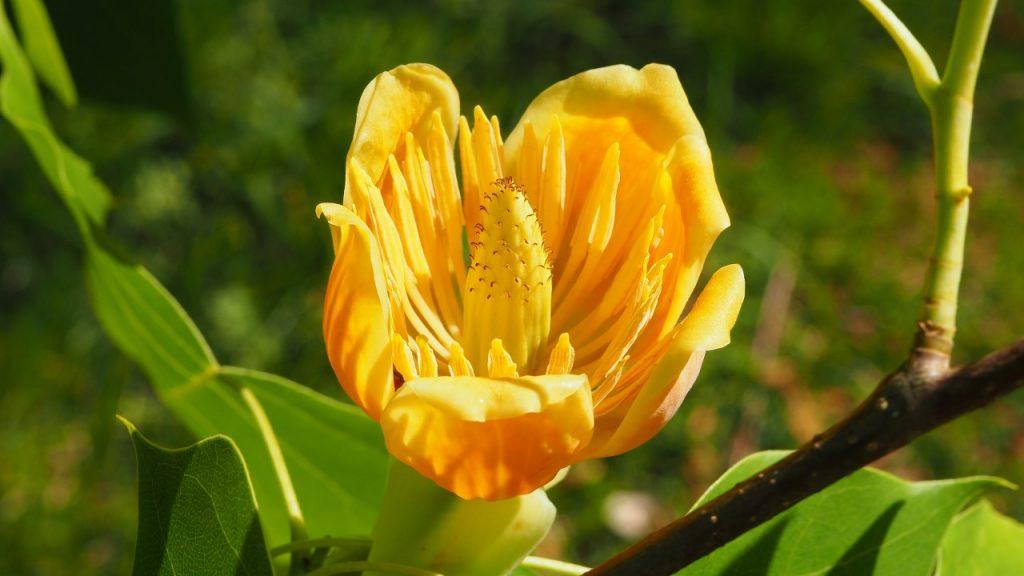 The Tulip Tree, Liriodendron Chapel Hill