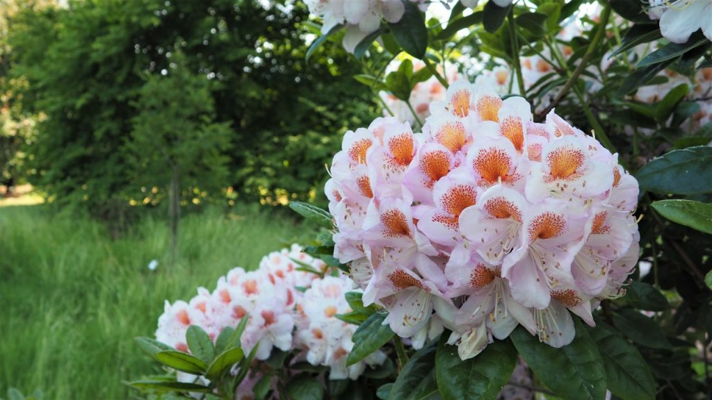 Rhododendron Mrs T. H. Lowinsky