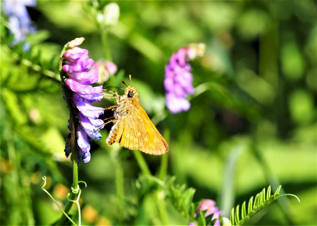 Large Skipper butterfly in the Erps-Kwerps Vijvers