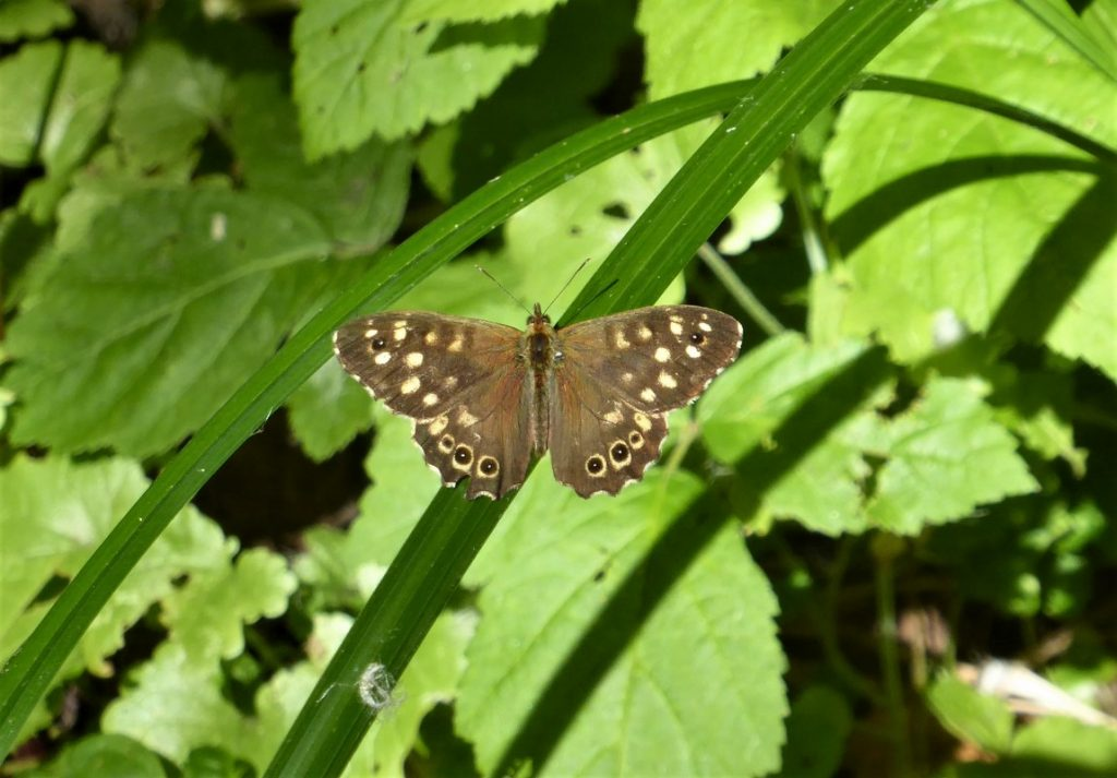 Speckled Wood butterfly in the Erps-Kwerps Vijvers