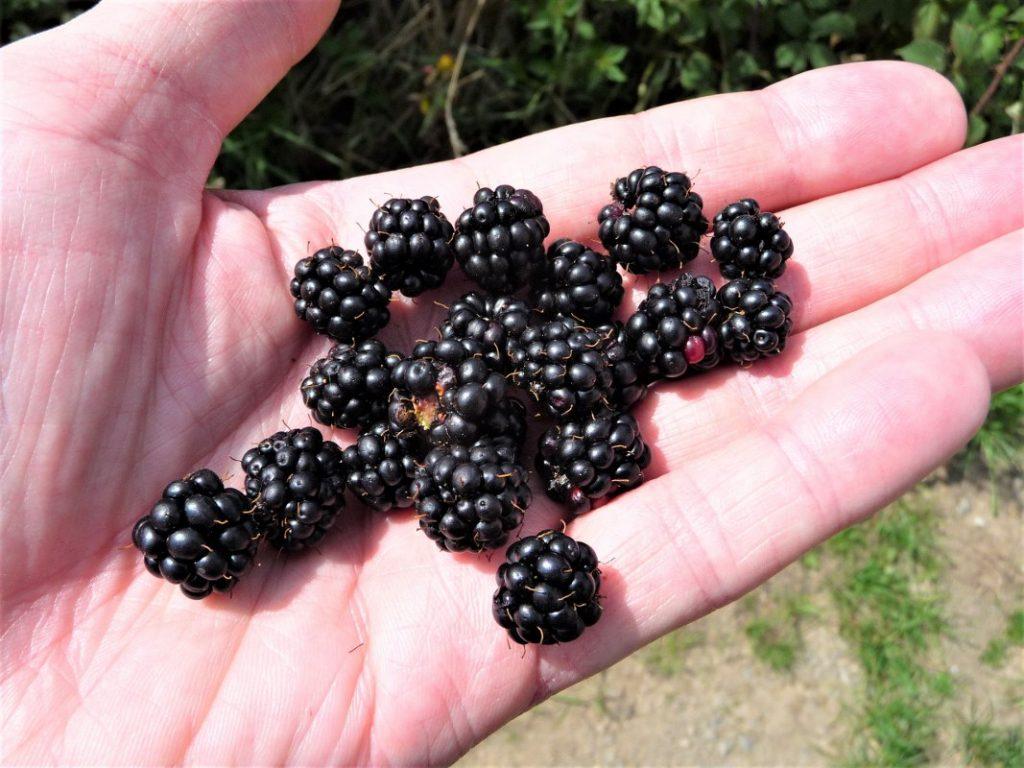 Blackberries to eat
