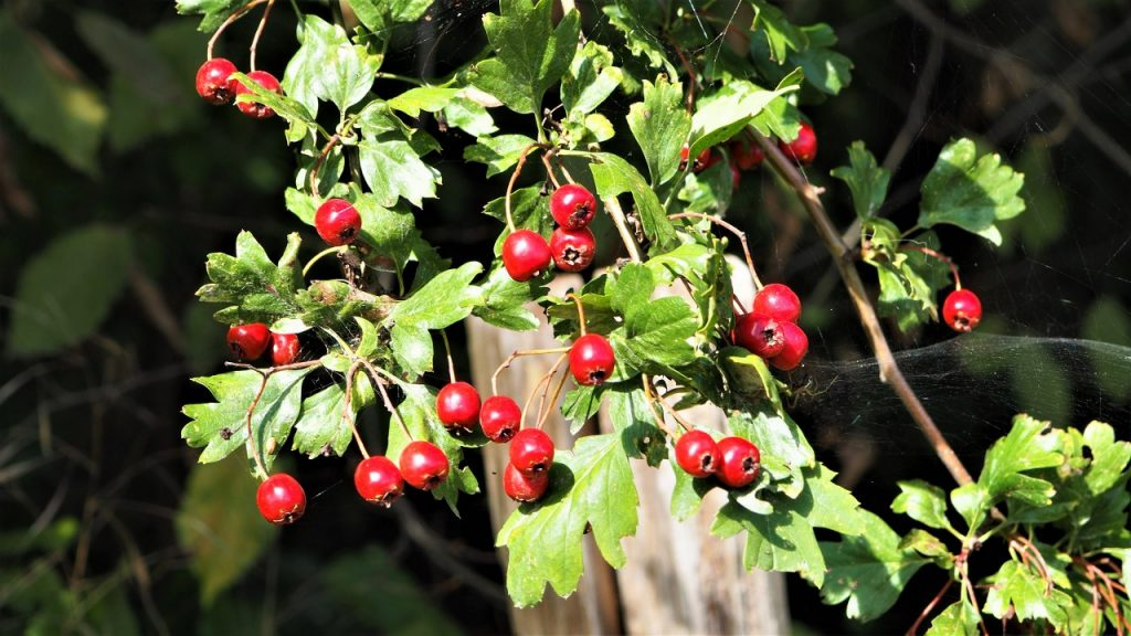 How to identify hedgerow berriesL Hawthorn