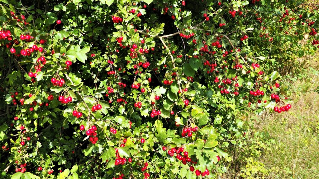 How to identify hedgerow berries: hawthorn