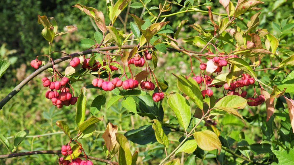 Spindle berry identification