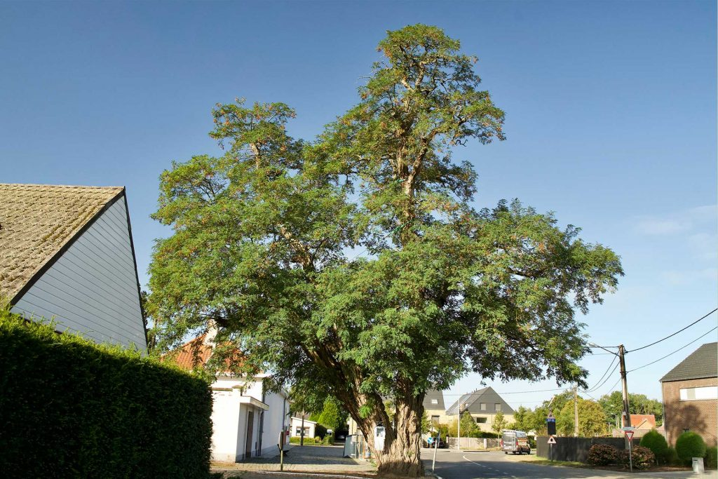 Tree of the Year 2020: Kapellekensboom Heidehuizen