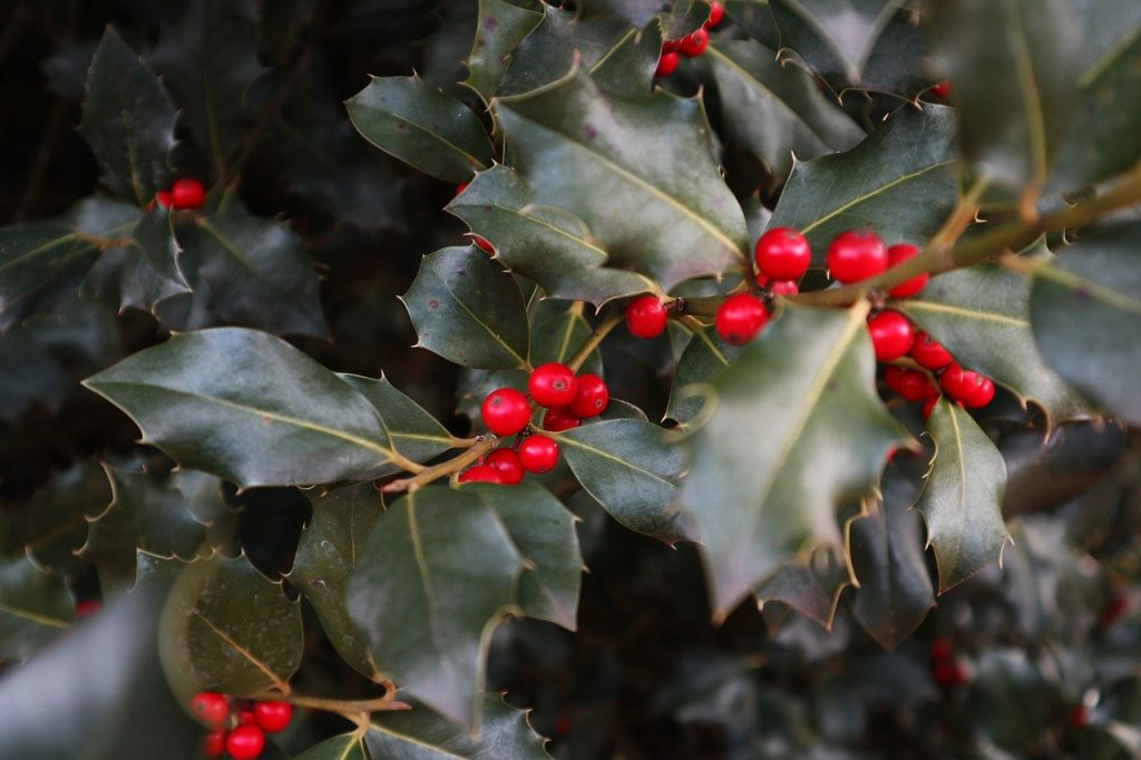 The berries of the holly
