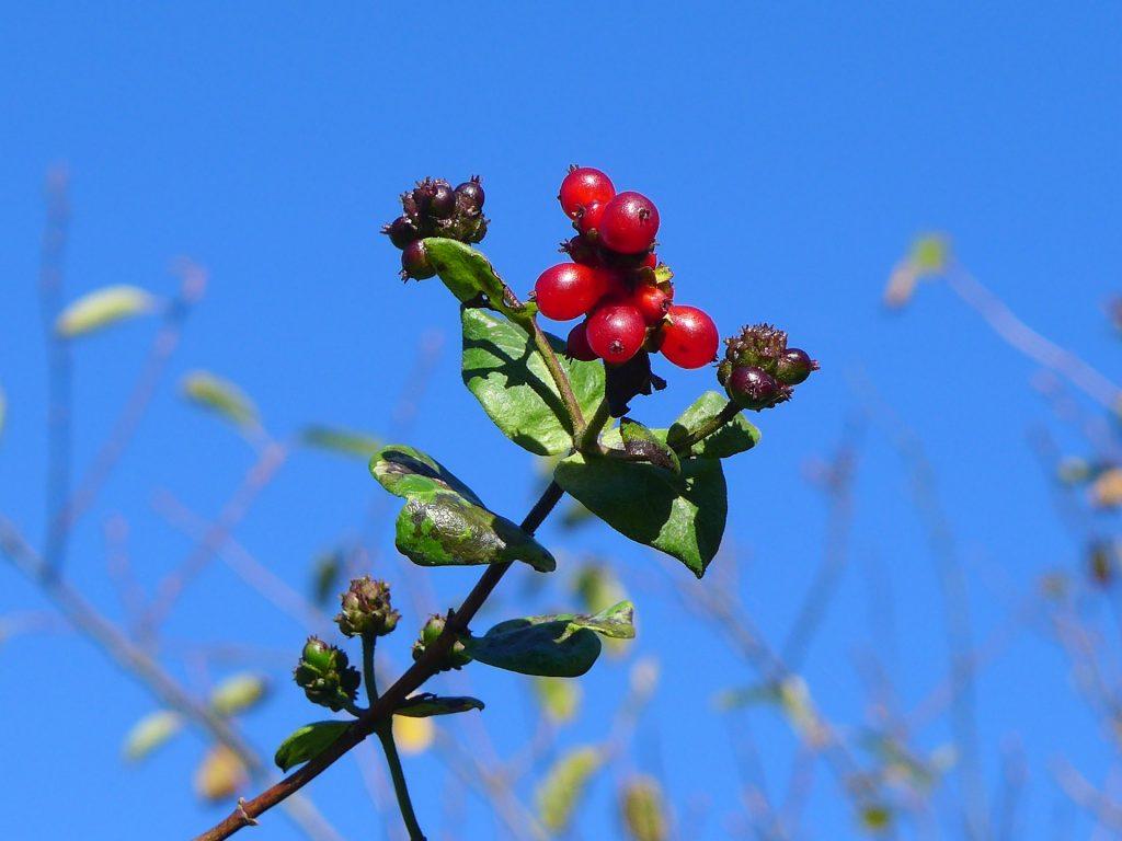 "Baies de chèvrefeuille ""class ="" wp-image-36854 ""srcset ="" https://www.discoveringbelgium.com/wp-content/uploads/2020/09/honeysuckle-berries-1024x768.jpg 1024w, https: // www. Discoveringbelgium.com/wp-content/uploads/2020/09/honeysuckle-berries-300x225.jpg 300w, https://www.discoveringbelgium.com/wp-content/uploads/2020/09/honeysuckle-berries-150x113.jpg 150w, https://www.discoveringbelgium.com/wp-content/uploads/2020/09/honeysuckle-berries-768x576.jpg 768w, https://www.discoveringbelgium.com/wp-content/uploads/2020/09 /honeysuckle-berries-1536x1152.jpg 1536w, https://www.discoveringbelgium.com/wp-content/uploads/2020/09/honeysuckle-berries-1200x900.jpg 1200w, https://www.discoveringbelgium.com/wp -content / uploads / 2020/09 / chèvrefeuille-baies-800x600.jpg 800w, https://www.discoveringbelgium.com/wp-content/uploads/2020/09/honeysuckle-berries-400x300.jpg 400w, https: / /www.discoveringbelgium.com/wp-content/uploads/2020/09/honeysuckle-berries-200x150.jpg 200w, https://www.discoveringbelgium.com/wp-co ntent / uploads / 2020/09 / honeysuckle-berries.jpg 1920w ""tailles ="" (largeur maximale: 1024px) 100vw, 1024px"