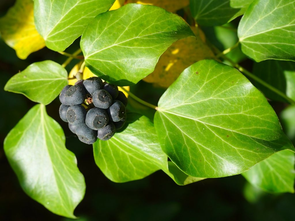 Ivy berries and their identification