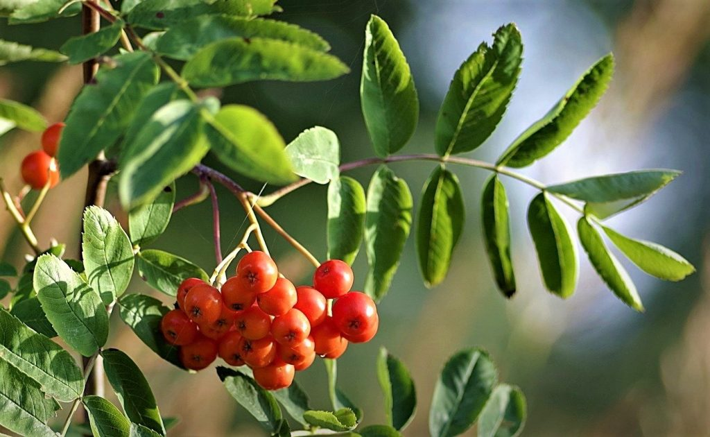 How to identify hedgerow berries: The  Rowan or Mountain Ash