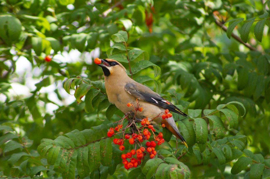 Birds love eating rowan berries!