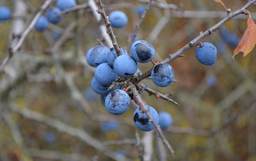How to identify hedgerow berries: The Sloe, Blackthorn