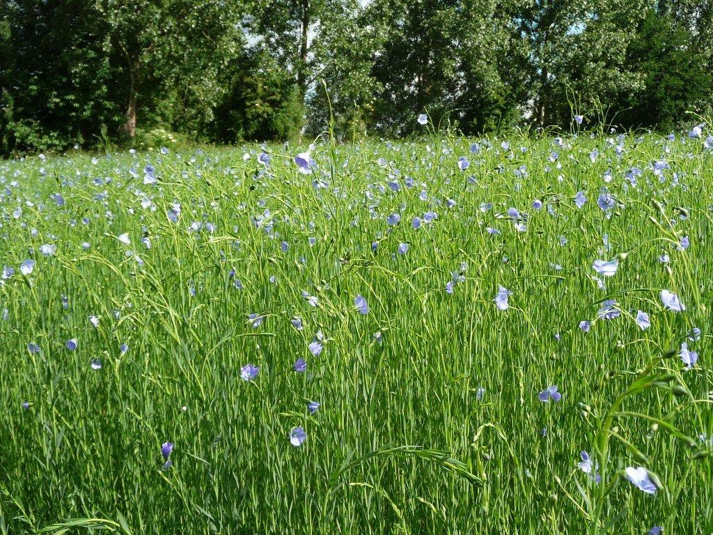 The flax fields of Bossut
