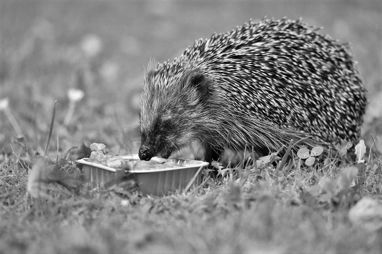 A feeding hedgehog