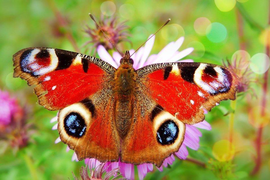 how to identify garden butterflies